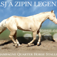 AQHA HOMOZYGOUS GOLD CHAMPAGNE STALLION AT STUD