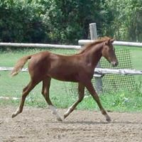 2018 Sporthorse Deluxe Morgan Filly!