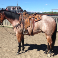 Roan gelding-sells April 20, 2019 Claresholm AB