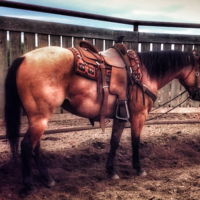 Buckskin Gelding-Sells April 20, 2019 Claresholm AB