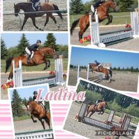 5 yr WB Mare standing 16.2 HH