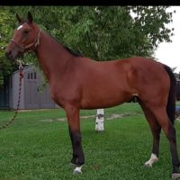 Young Well Bred TB Broodmare