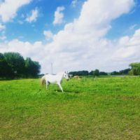 Grey Arabian mare seeking forever home!
