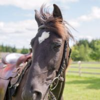 Kind Tennessee Gelding for sale