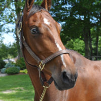 Flemmingh mare offered for sale